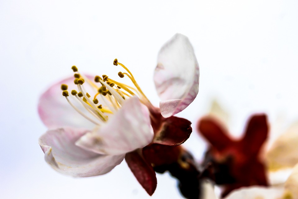 違い 桜の 梅 と